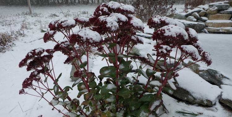 fleur_neige premiers flocons