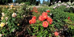 fleurs bienfaits vie à la campagne culture de fleurs roses